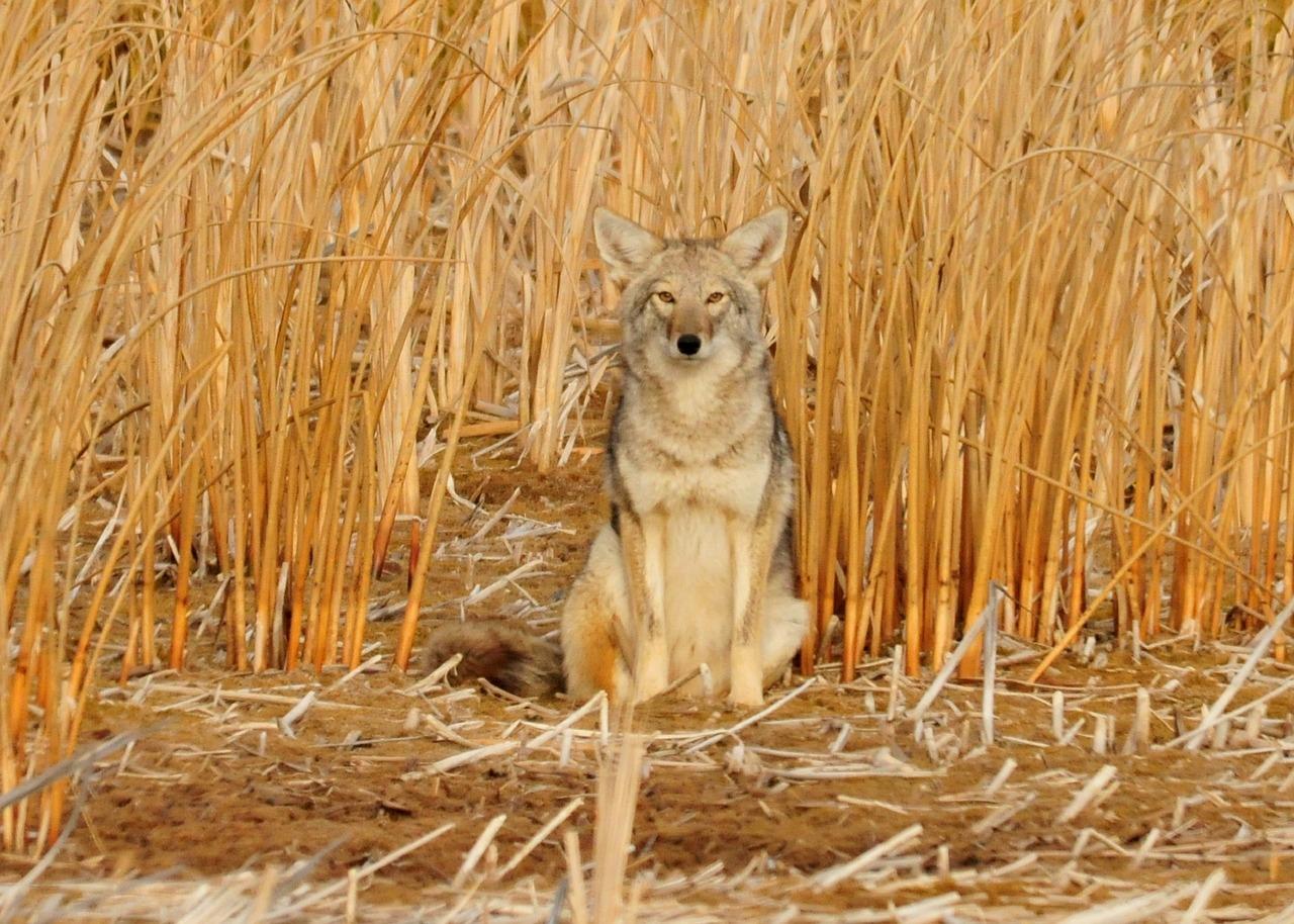Canada Goose, critiqué pour son utilisation de fourrures de coyotes